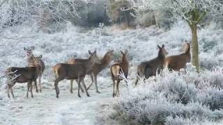 Reindeer Deer Animals Nature Wild Wildlife Forest No Copyright Video