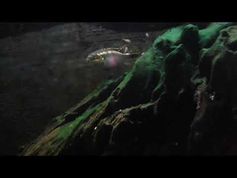 Avannotti pelvicachromis pulcher 3