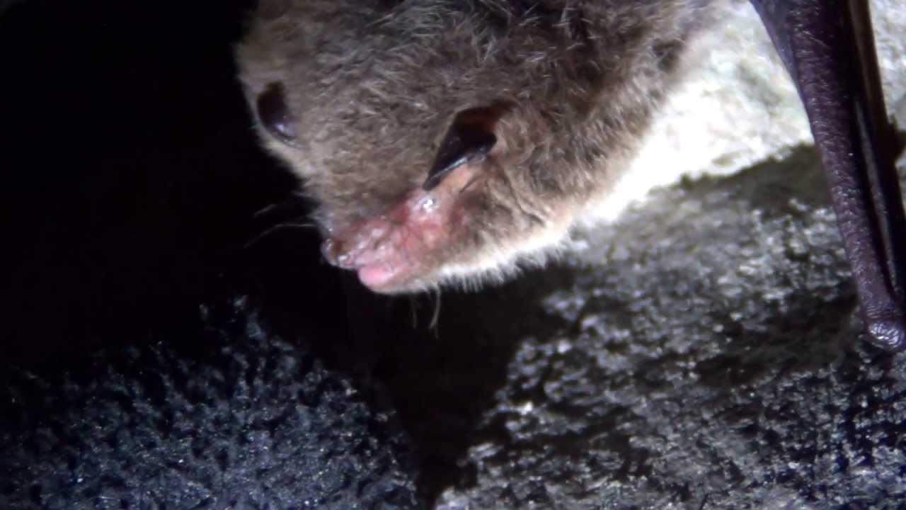 Как охотятся летучие мыши?