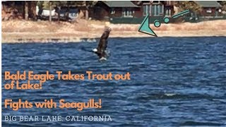 MASSIVE BALD EAGLE snatches TROUT out of lake  ||  BIG BEAR LAKE, CA ||  Battle With Gulls