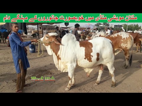 SOODA HOA K NAHI ? LAHORE SHAHPUR KANJRA - LAHORE COW AND