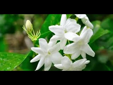 Video 18 Jasmine Benefits For Health and Beauty