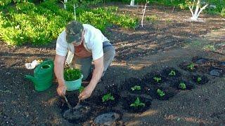 Посадка рассады помидоров в открытый грунт видео