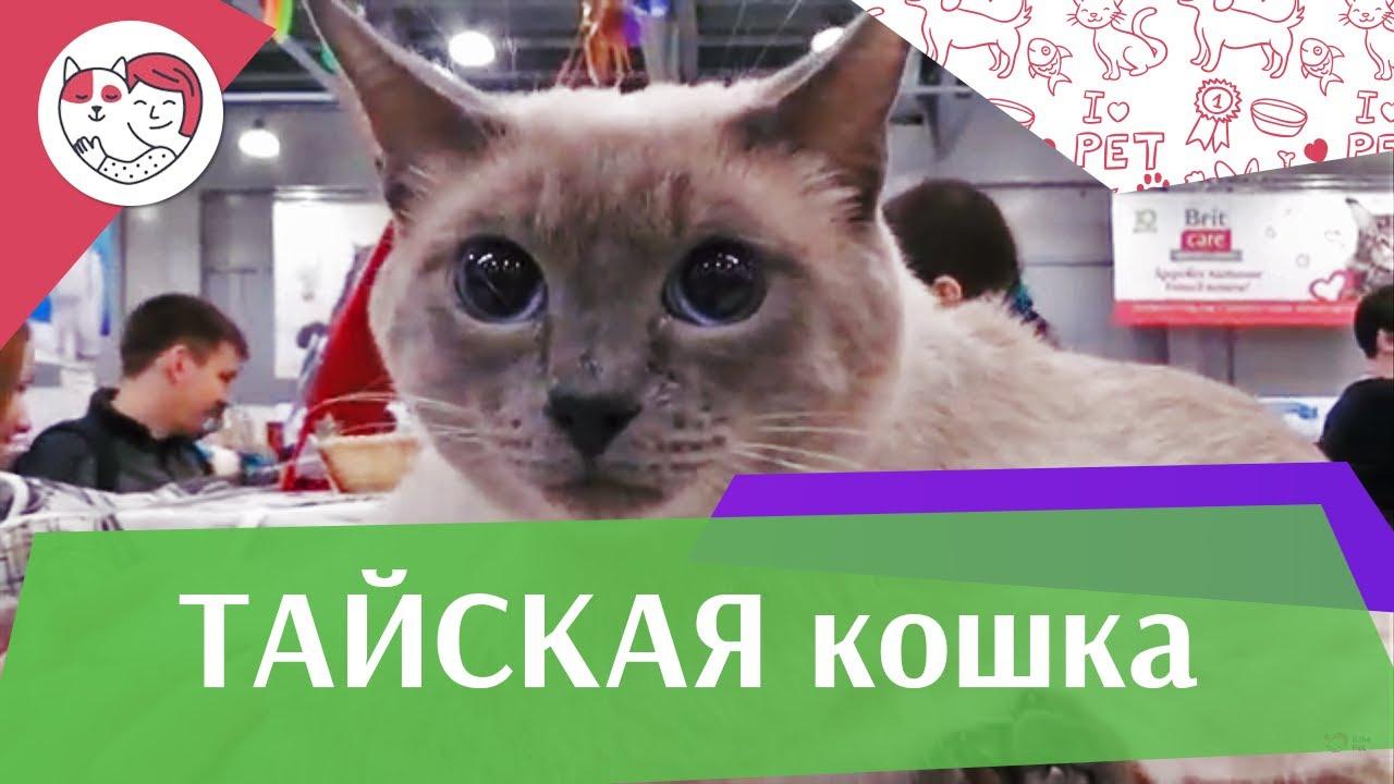 Тайская кошка: описание, фото, цены, характер и стандарты ...