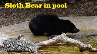 Sloth Bear in pool at Zoo Miami