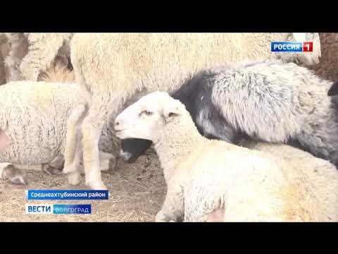 Управлением Россельхознадзора выявлен незаконный ввоз мелкого рогатого скота на территорию Волгоградской области