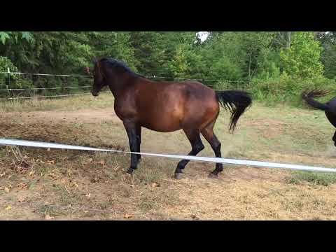 MRM Black Magic - Pasture Breeding - Courting a Mare - Morgan horse