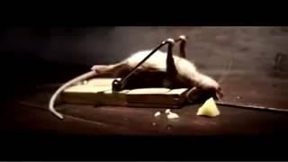 Крыса прикол
