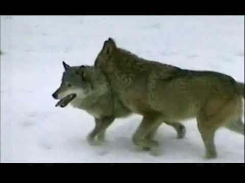 Ką staugia vilkai