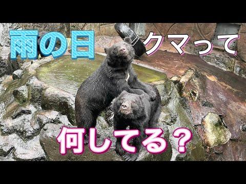 【雨の動物園】雨の日、クマさんって何してるの?