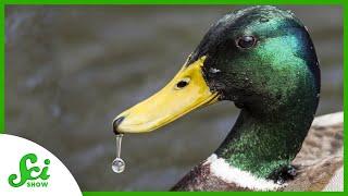 How Do Ducks Stay Dry?