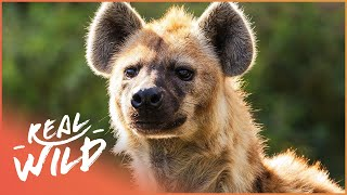 Gorgeous Brown Hyena Hiding From Lions | Ghosts Of The Great Salt Lake | Wild Things Shorts