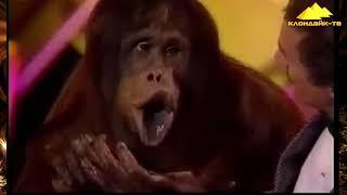 Орангутаны самые смешные Bobby Berosini s orangutan show