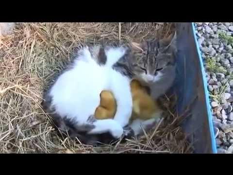 Clip xúc động về tình cảm giữa mèo và vịt con