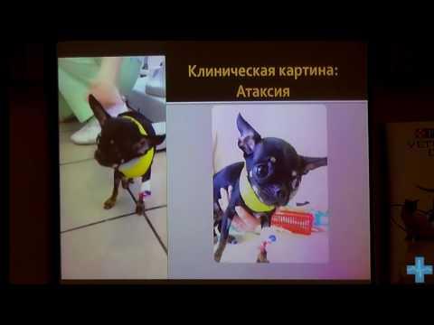 Смещение Атланта у собак! Атланто-аксиальная нестабильность. Методы оперативного лечения