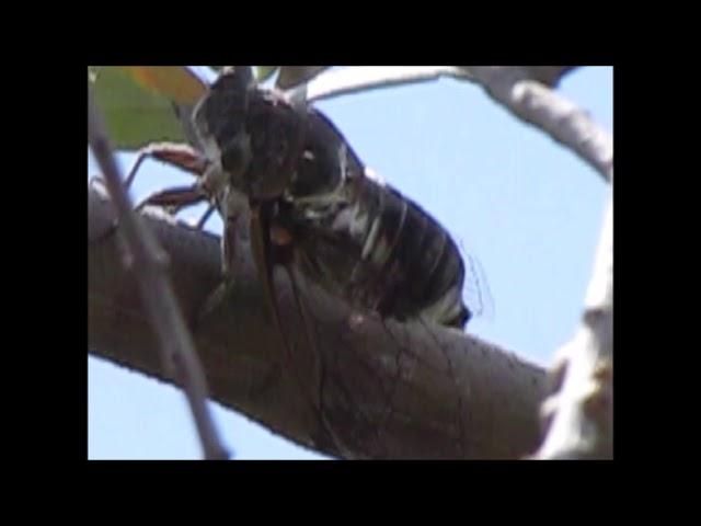 La cicala – video