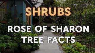 Rose Of Sharon Tree Facts