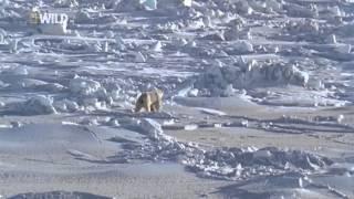 Суперхищники Полярный медведь