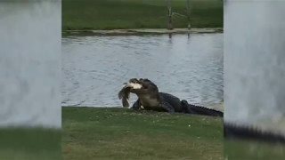 Alligator Eats Fish on Golf Course