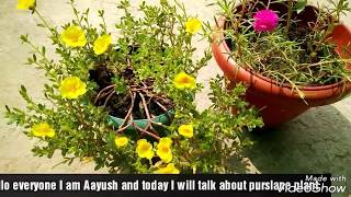 How to grow and get more flowers on purslane/portulaca/office time/9'O clock plant.