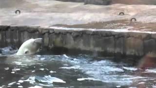Lední medvěd v pražské zoo