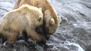 Brooks Falls Alaska, Mama Bear with two cubs feeding on Salmon