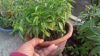 How to care chilli plants