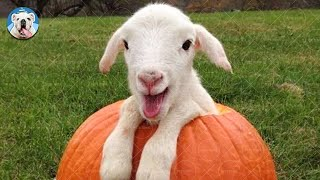 GOAT Is Beyond Funny And Cute - Funny Goat Videos