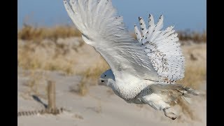 Snowy owls are wintering in New Jersey