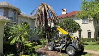 Removing Large, Dead Canary Island Date Palm