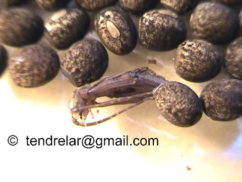 Baby stick insect hatching (Peruphasma schultei)
