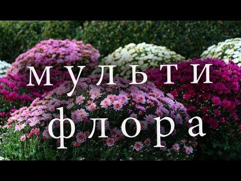 Хризантема мультифлора шаровидная.Уход, посадка и зимовка.