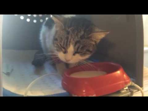 Video Marli, cat with chronic renal failure