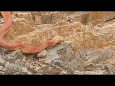 ثعبان ضخم يجوب جبال نجران ويثير جدلاً