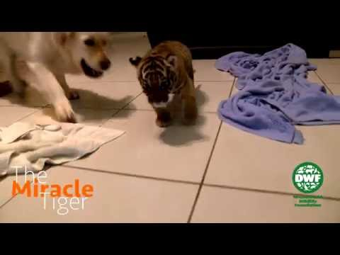 Tiger Cub Meets Dogs For The First Time - The Miracle Tiger