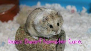 Basic Dwarf Hamster Care