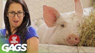 bromas el cerdo