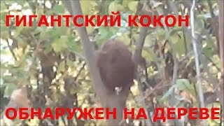 ГИГАНТСКИЙ КОКОН ОБНАРУЖЕН НА ДЕРЕВЕ В ЛЕСУ странное существо на дереве. находка в лесу