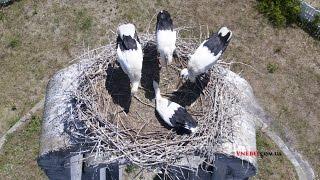 Гнездо аистов посетил дрон