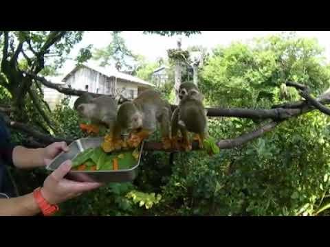 8月おたんじょう会 リスザルのバナナ(squirrel monkey birthday!)
