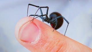 Что будет если укусит ядовитый паук