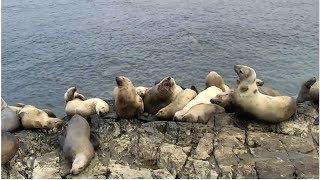 Sea Lion Cam   The Dodo Tranquil Tuesdays LIVE