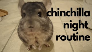Night Routine With Two Chinchillas