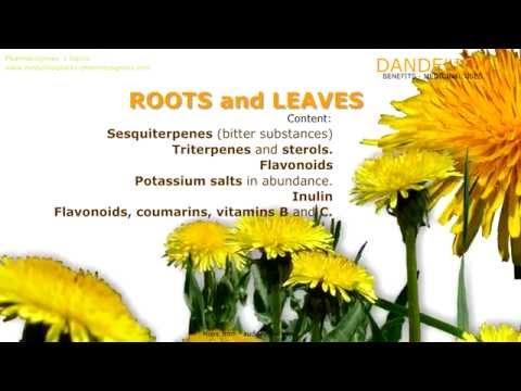 Video Dandelion. Benefits of dandelion herb