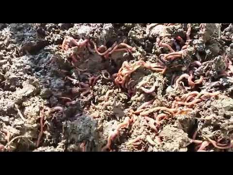 Pungiglioni di insetti e parassiti