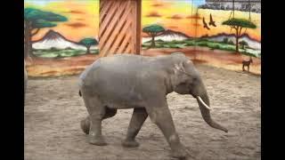 В Николаевском зоопарке показали «слоновьи игры». ВИДЕО
