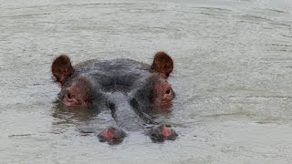 Fascinating Facts about the Hippopotamus