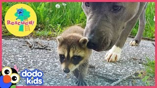 Three Cute Baby Raccoons Are Saved — By A Dog!   Dodo Kids: Rescued!