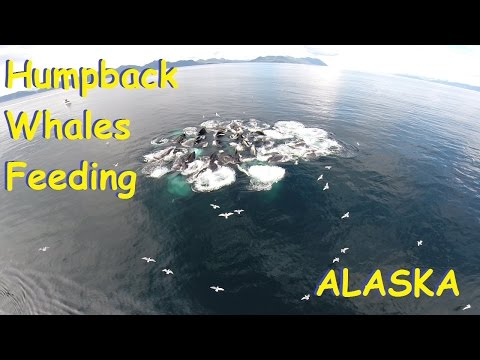 Drone Views Of Humpback Whales Feeding  In Alaska Prince William Sound