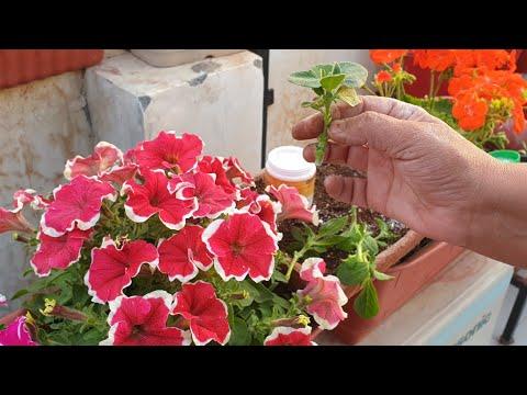 How to Grow Petunia by Cutting || Propagation of Petunia Plant || Fun Gardening